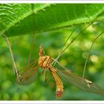 Комар большой на крапиве (возможно, Tipula sp.)