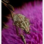 Личинка щитника Carpocoris pudicus