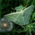 Пяденица зелёная