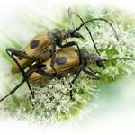 Усы любови не помеха (жуки Пахита)