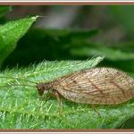 Гемероб окаймленный - gemerobus marginatus