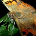 Госпожа Репея (бабочка Репейница)