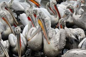 На Южном Урале нашли черноголовых хохотунов и кудрявых пеликанов